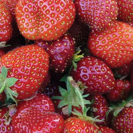 Eversweet, Strawberry Roots image number null