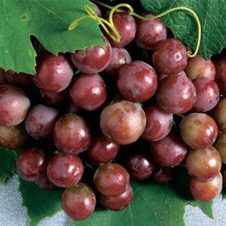 Catawba, Grape Plant image number null