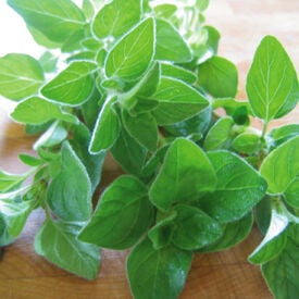 Italian, Oregano Seeds