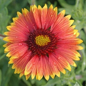 Indian Blanket Seeds, Gaillardia