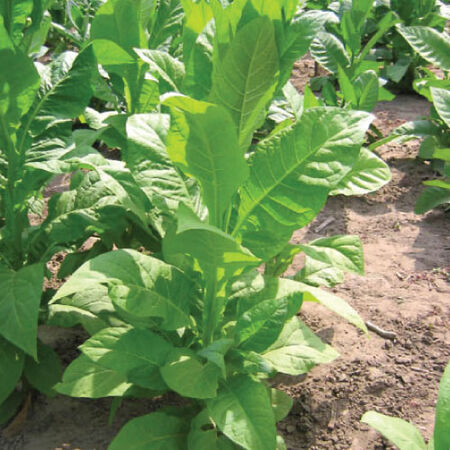 Virginia 116, Tobacco Seed - Packet image number null
