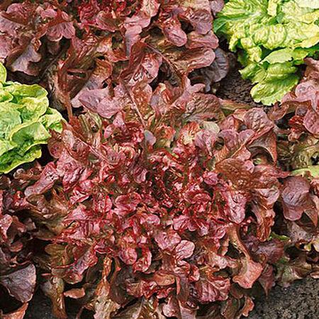 Red Salad Bowl, Lettuce Seeds image number null