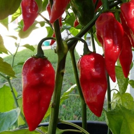 Devil's Tongue, Pepper Seeds - Packet image number null