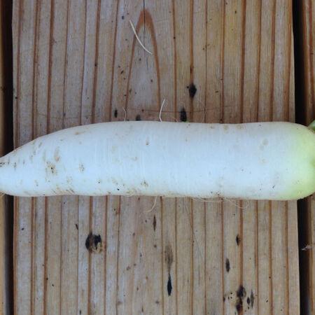 Minowase Daikon, Radish Seeds - Packet image number null