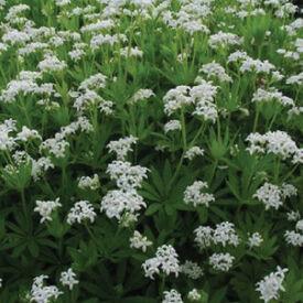 Sweet Woodruff, Galium Odoratum Seeds