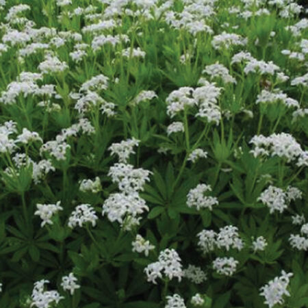 Sweet Woodruff, Galium Odoratum Seeds - Packet image number null