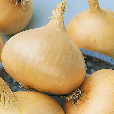 Texas Early Grano, Organic Onion Seeds image number null