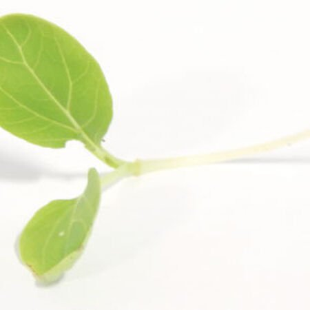 Bok Choy Cabbage, Microgreen Seeds - 1/4 Pound image number null
