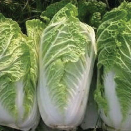 Michihili, Cabbage Seeds - Packet image number null