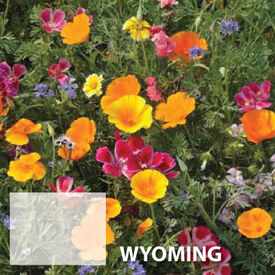 Wyoming Blend, Wildflower Seed