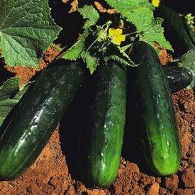 Spacemaster 80, Cucumber Seeds