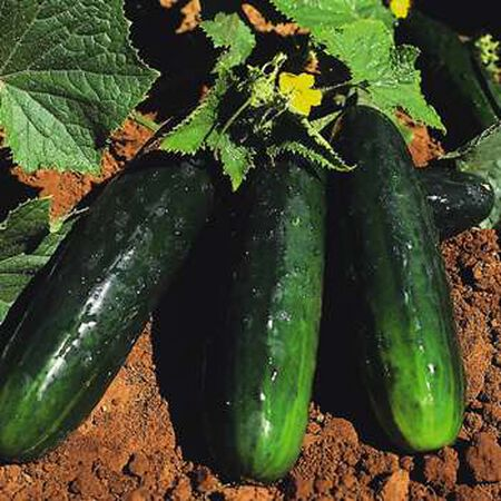 Spacemaster 80, Cucumber Seeds - Packet image number null