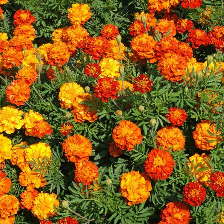 Sparky Mix, Marigold Seeds - Packet image number null