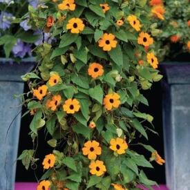 Susie Orange Black Eye Vine, Thunbergia Seeds
