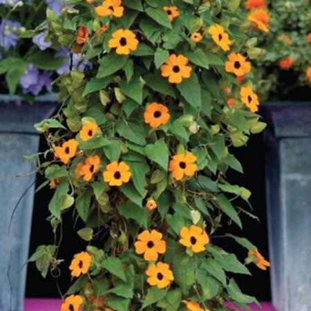 Susie Orange Black Eye Vine, Thunbergia Seeds - Packet image number null