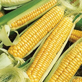Early Golden Bantam, Corn Seed