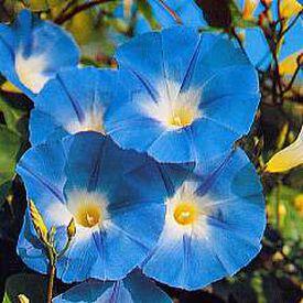 Heavenly Blue, Ipomoea Seeds