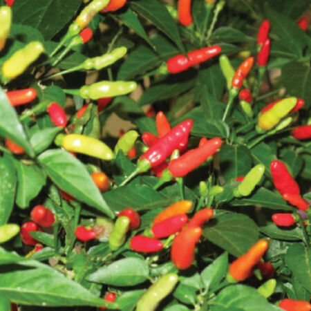 Tabasco, Pepper Seeds image number null