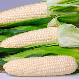EDEN, (F1) Corn Seed