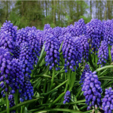 Dark Eyes, Muscari image number null