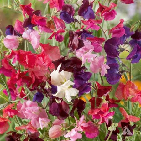 Heirloom Mix, Sweet Pea Seeds - Packet image number null