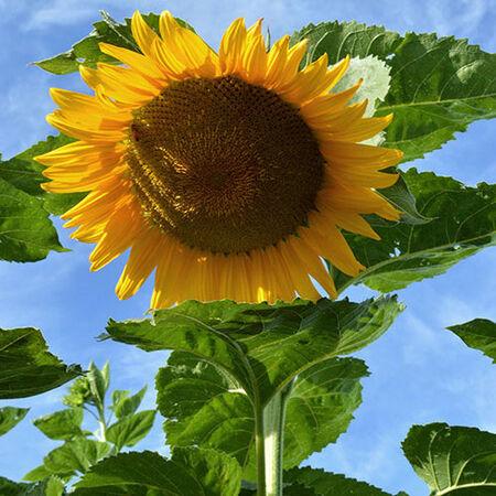 Starburst F1, Sunflower Seeds - Packet image number null