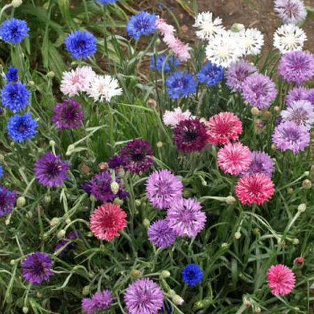 Dwarf Mix, Cornflower Seeds - Packet image number null
