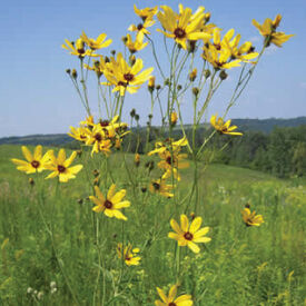 Tall, Coreopsis Seeds