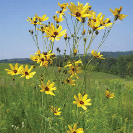 Tall, Coreopsis Seeds - Packet image number null