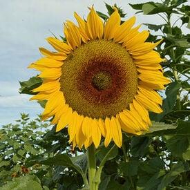 Canyon Sunset, (F1) Sunflower Seeds
