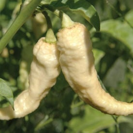 White Bhut Jolokia, Pepper Seeds