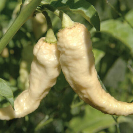 White Bhut Jolokia, Pepper Seeds - Packet image number null