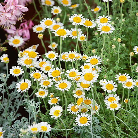Common, Chamomile Seeds image number null