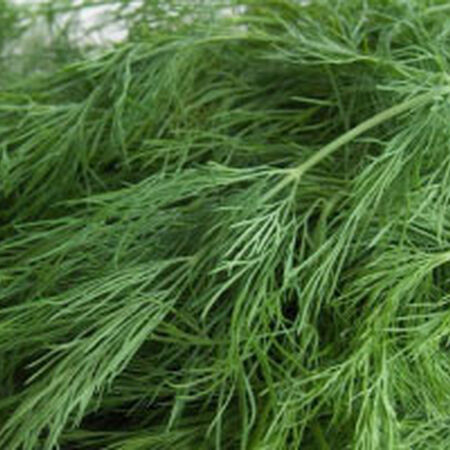 Bouquet, Dill Seed - Packet image number null