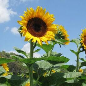 Early Black Heart, (F1) Sunflower Seeds