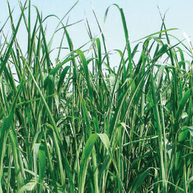Piper Sudangrass, Grasses