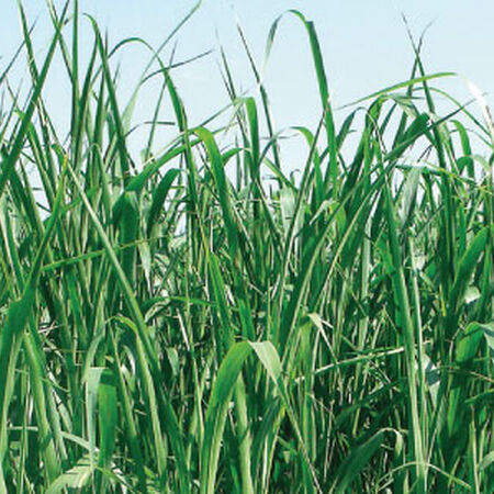Piper Sudangrass, Grasses - 1 Pound image number null