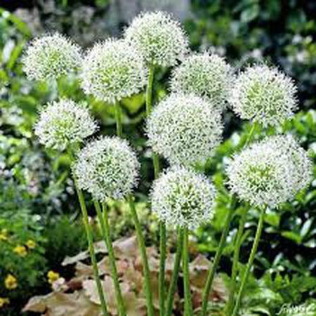 Mont Blanc, Allium Bulbs image number null