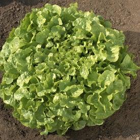 Oakleaf, Lettuce Seeds