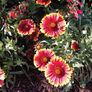 Blanket Flower, Gaillardia - Packet thumbnail number null