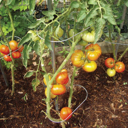 Tomato Rings, Crop Support image number null