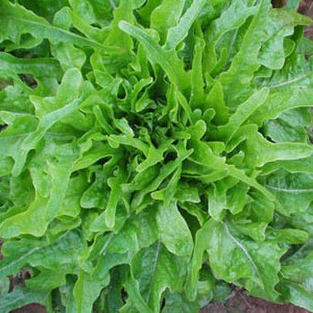 Royal Oakleaf, Lettuce Seeds - Packet image number null