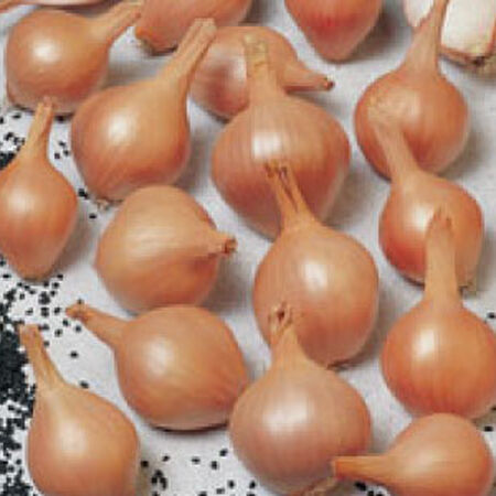 Ambition, Shallot Seeds image number null