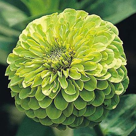 Envy, Zinnia Seeds - Packet image number null