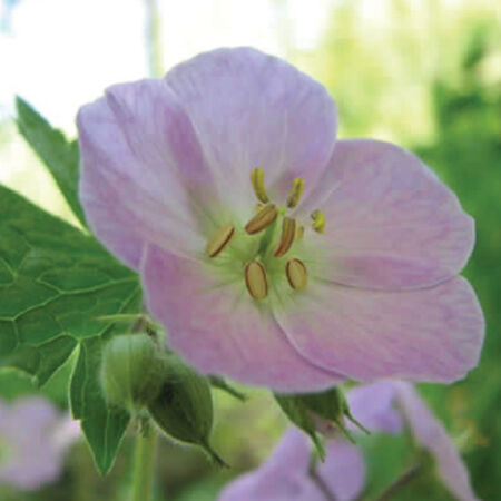 Wild, Geranium Seeds image number null