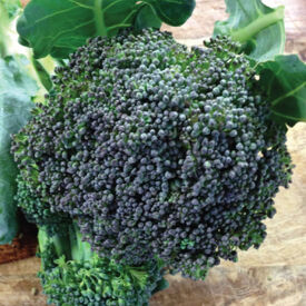 Green Emperor, (F1) Broccoli Seeds