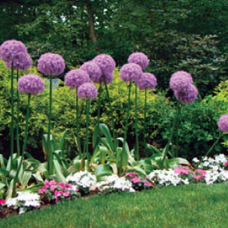 Globemaster, Allium Bulbs image number null