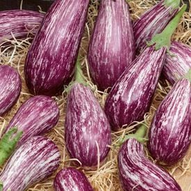 Galaxy of Stars, Eggplant Seeds