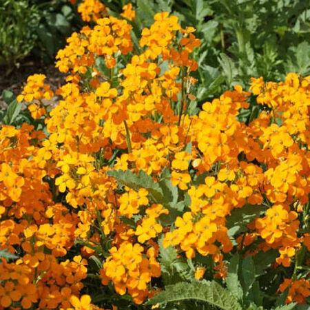 Siberian, Wallflower Seeds - Packet image number null