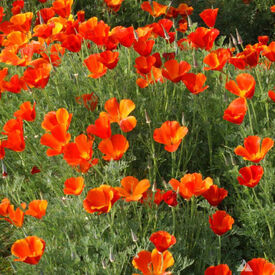 California, Poppy Seeds
